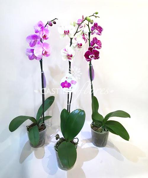 Orquidea Phaleanopsis Simple