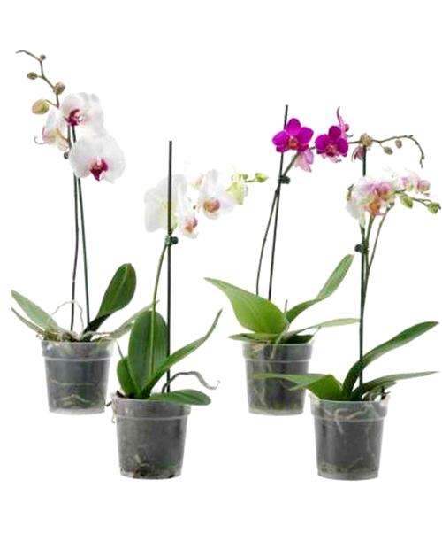 Orquidea Phaleanopsis Simple2